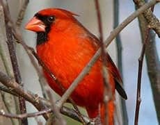 Northern_Cardinal_Male-27527